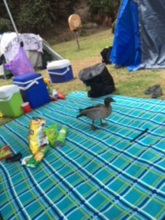 Pittwater, Australia: Ducks at our campsite