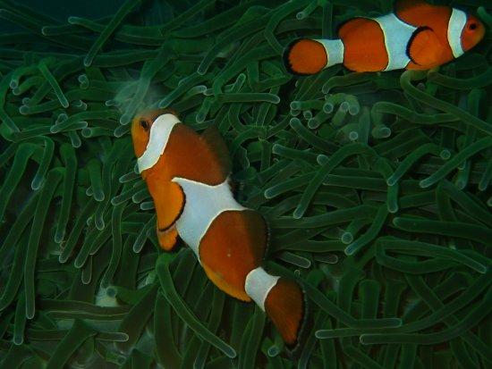Kiwidiver Dive Centre: Nemo fish at Phi Phi Islands