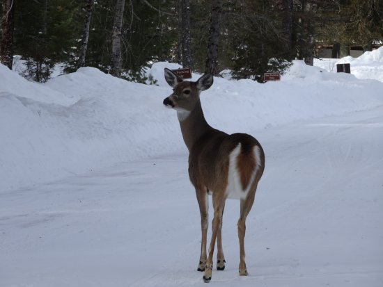 Columbia Falls, MT: We saw lots of deer hanging around the closed for the season McDonald Lodge