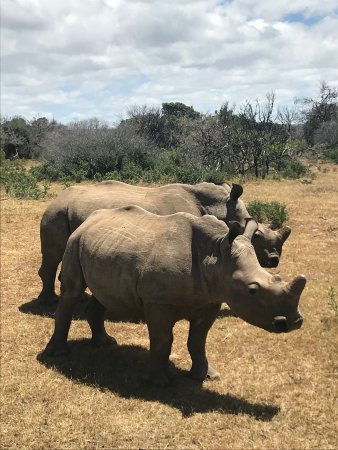 Kenton-on-Sea, South Africa: Magnificent rhinos.