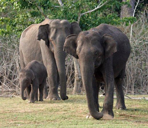 Beeramballi, Hindistan: Elephants seen from afternoon boat safari January 2018