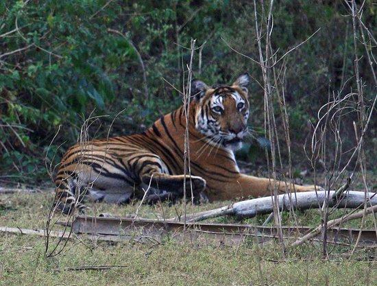 Beeramballi, Hindistan: Tiger seen from afternoon boat safari January 2018