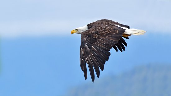 Campbell River, Canada: Bald eagles show up by the hundreds to feed on the adundance of fish
