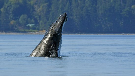 Campbell River, Canada: Vancouver Island has seen a significant resurgence in the Humpback Whale population in recent ye
