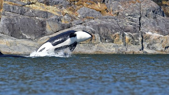 Campbell River, Canada: Orca showing off