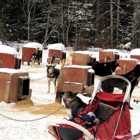 Ely, MN: The pups get very excited to pull the sleds