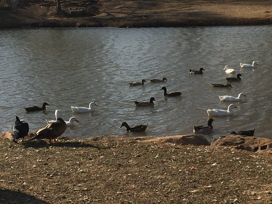 Colorado City, TX: Lots of Ducks and Geese