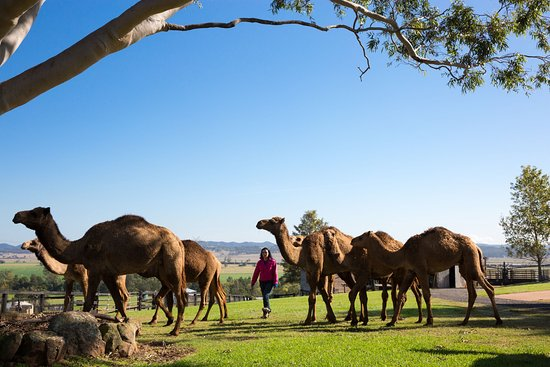 Muswellbrook, Australia: Camels on property