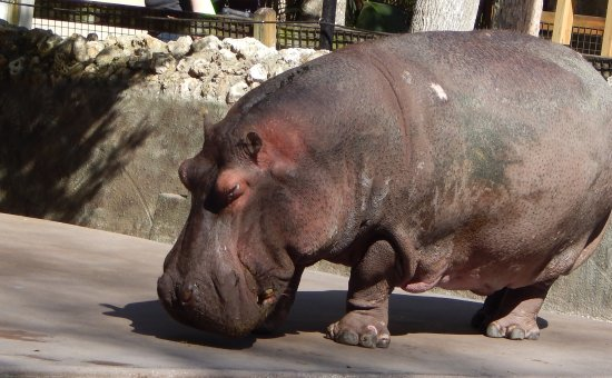 Homosassa Springs, FL: Lu the Hippo 58 years old