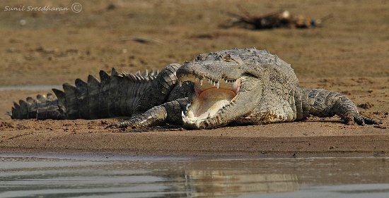 Mugger crocodile, taking in so...