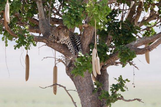 Tarangire National Park, Tansania: Auf der Lauer im Leberwurstbaum
