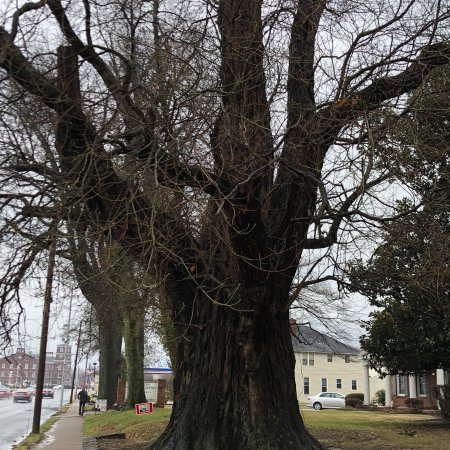 World's Largest Sassafras Tree