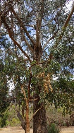 Hanson Bay, Austrália: Koala walk