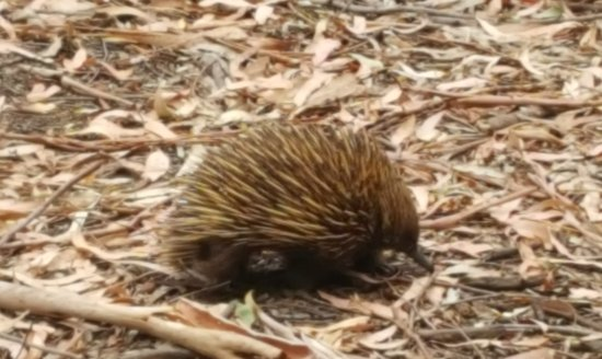 Hanson Bay, Australia: Echidna on the Wallaby trail