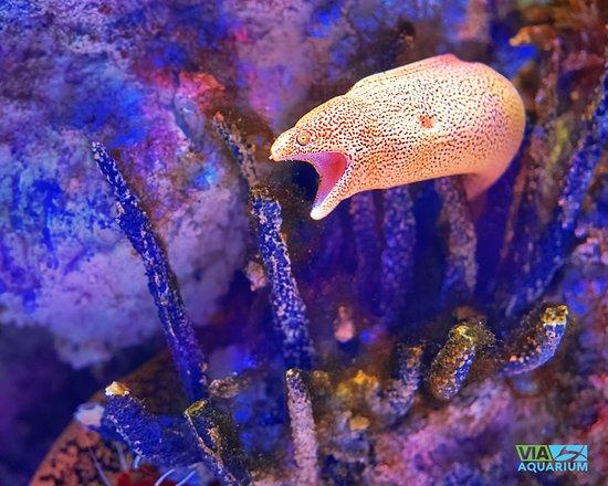 golden moray eel picture of via aquarium schenectady tripadvisor