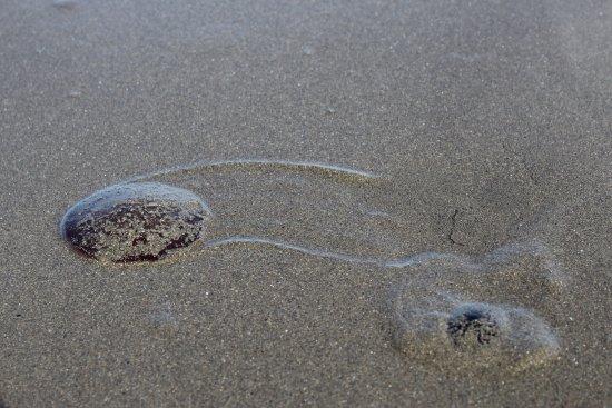 Seldovia, AK: Sand Dollars live on the Spit