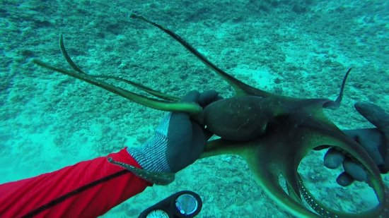 Underwater Oahu : A curious octopus near a small plane wreck at around 75 feet.