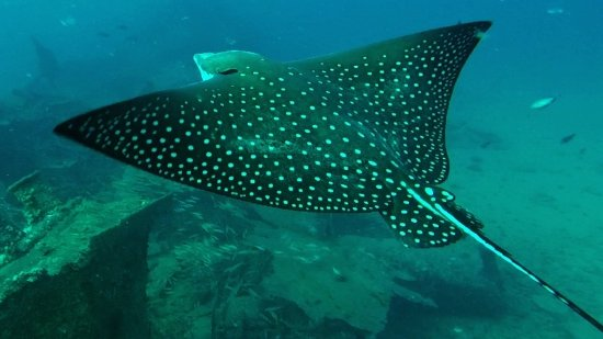 Underwater Oahu : Eagle ray swam right under me at about 80 feet depth, above the wreck of the Mahi.