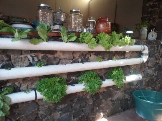 Mascota, Mexiko: Lettuce kept fresh in circulating water.