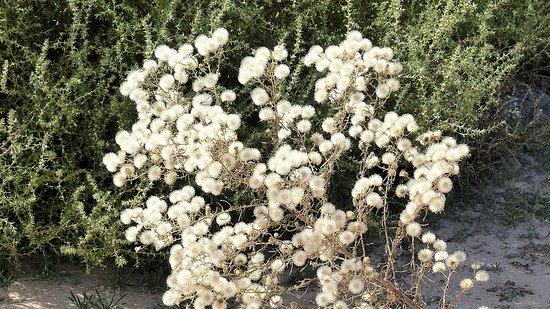 Rio Rancho, Nuevo México: October 31, 2016, an interesting plant growing...