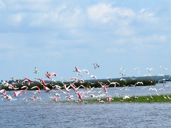 Geneva, FL: Beautiful Rosette Spoonbills in flight