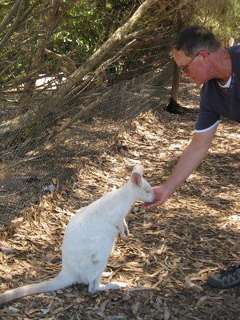 Seddon, Australia: Hand-feeding a white Kangaroo