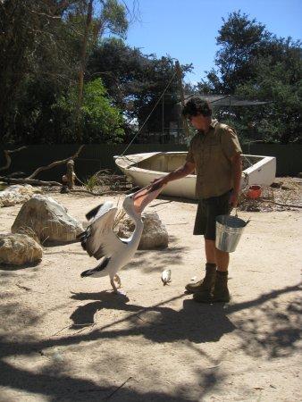 Seddon, Australia: Pelican feeding time