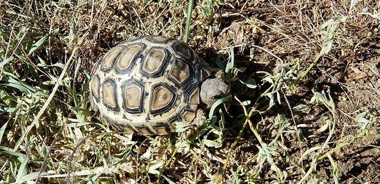 Wayo Africa: leopard tortoise
