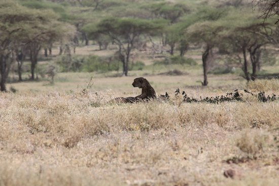 Wayo Africa: cheetah under a tree