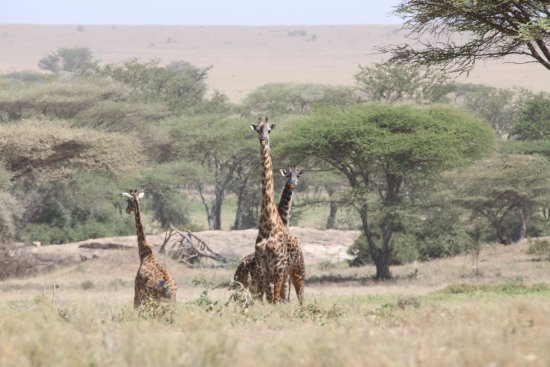 Wayo Africa: giraffe's looking at the us (tipped off the cheetah!)