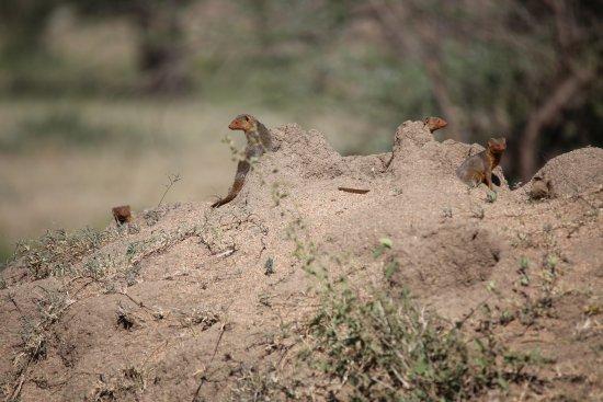 Wayo Africa: 4 dwarf mongoose