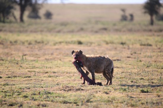 Wayo Africa: hyena finishingthe breakfast she caught