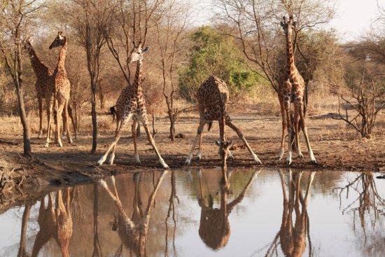 Arusha, Tanzania: Giraffes