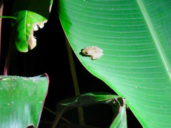 Drake Bay, Costa Rica: Pygmee frog !
