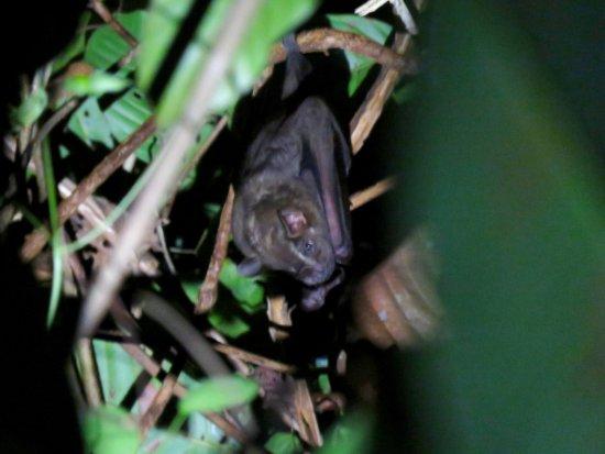 Drake Bay, Costa Rica: Very elusive bat !