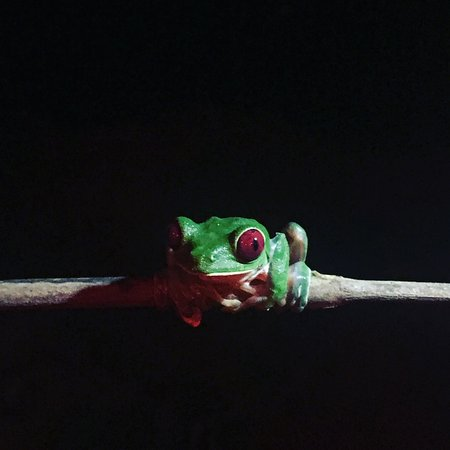 Drake Bay, Costa Rica: Tiny Red-eyed tree frog holding on a stick