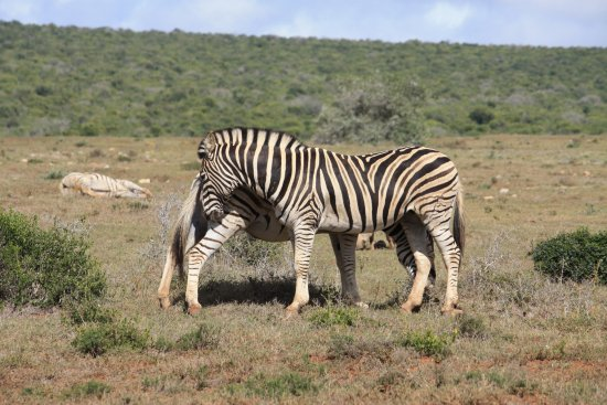 you cover my bu, ill cover yours zebra addo elephant national park
