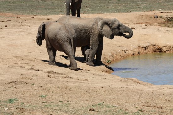 Addo, África do Sul: elephants drink about 150 liters a day