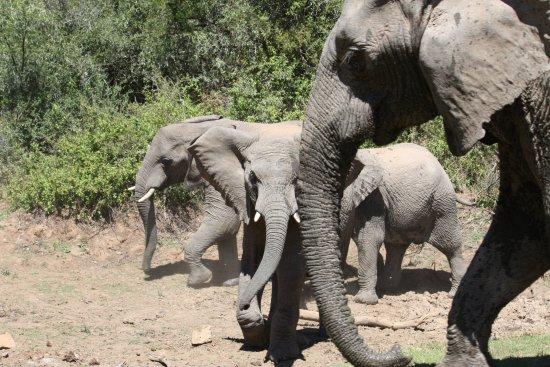 Addo, Afrika Selatan: look at the babies
