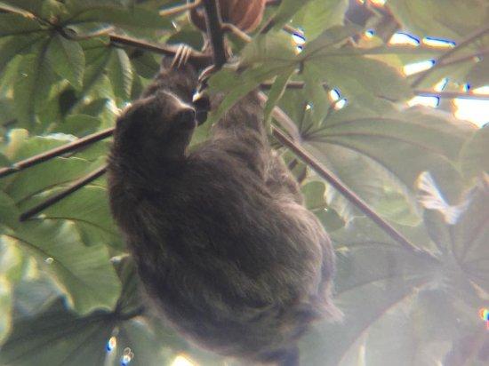 Rincon de La Vieja, Kosta Rika: Sloth in the wild!