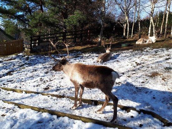 Cairngorm Reindeer Herd : 20180216_140034_large.jpg