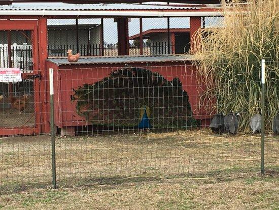 Forney, TX: Peacock