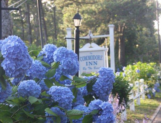 Hydrangea Heaven at The Commodore Inn