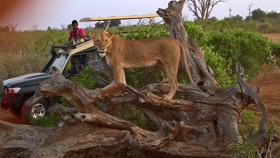 Sentrim Tsavo East : leonessa
