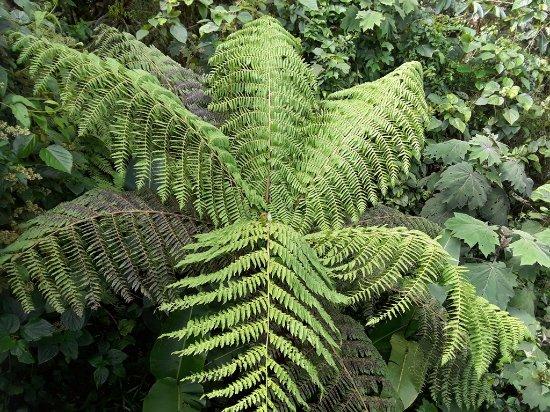 Monteverde Cloud Forest Reserve, Costa Rica: Fern