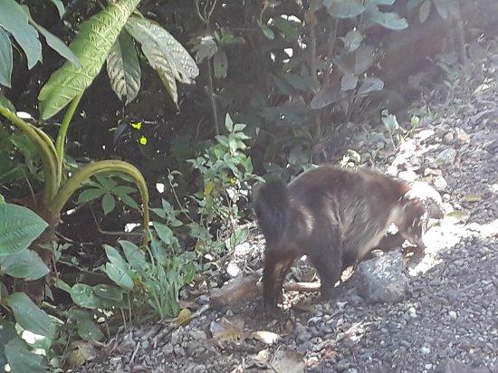Monteverde Cloud Forest Reserve, Costa Rica: Coati