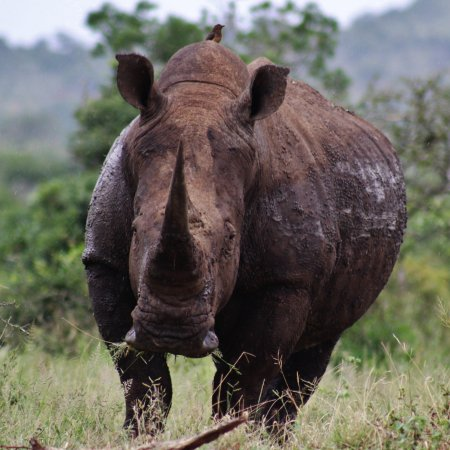 Zululand, South Africa: One of the many rhinos we saw at the reserve