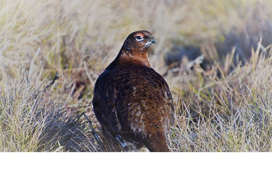 Highland Wildlife & Birdwatch Safaris: Red grouse, up close on the moor