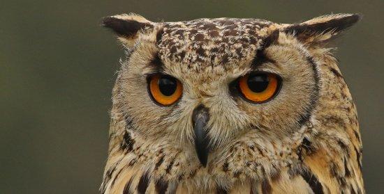 Walworth, UK: Eagle owl