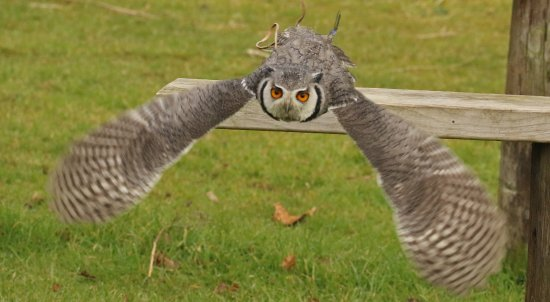 Walworth, UK: White faced scops owl